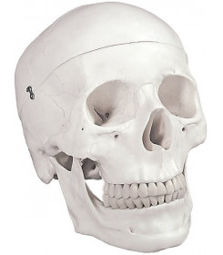 Modello anatomico cranio umano