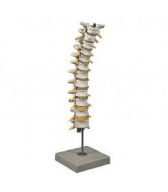Modello anatomico Colonna Toracica
