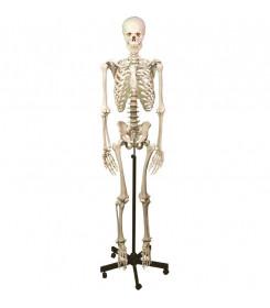 modello-scheletro-umano