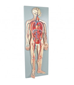 Modello anatomico Sistema Vascolare divisibile in 2 parti