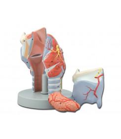 Modello anatomico Laringe