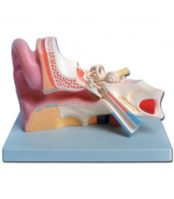 Modello anatomico orecchio divisibile in 5 parti