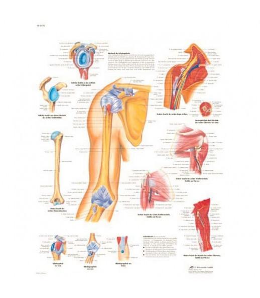 Poster anatomico spalle e gomito