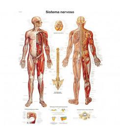 Tavola anatomica poster IL SISTEMA NERVOSO