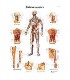 Tavola anatomica poster IL SISTEMA VASCOLARE