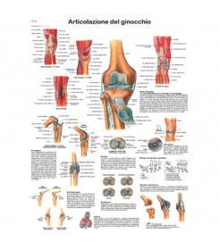 Tavola anatomica poster ARTICOLAZIONE DEL GINOCCHIO