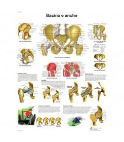 Tavola anatomica poster BACINO E ANCHE