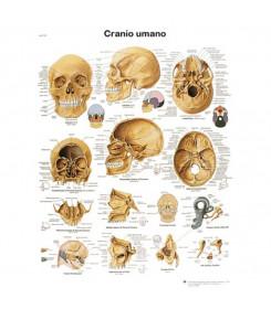Tavola anatomica poster CRANIO UMANO