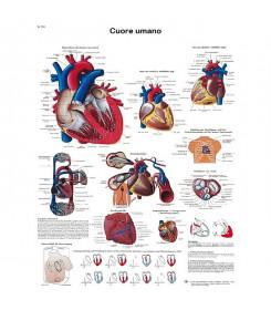 Tavola anatomica poster IL CUORE UMANO