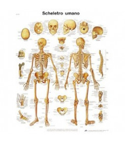 Tavola anatomica poster LO SCHELETRO UMANO