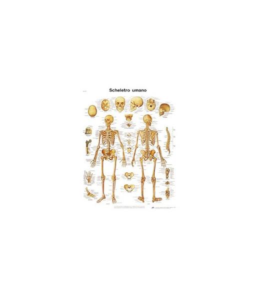 Poster anatomico scheletro